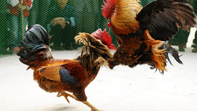 situs judi sabung ayam online